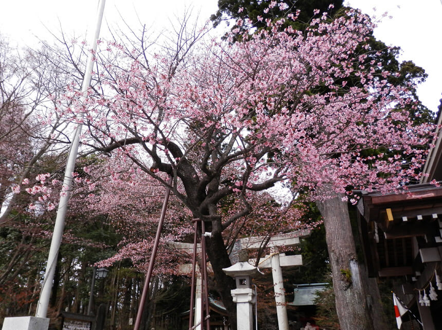 冨士浅間神社のエゾヤマザクラ