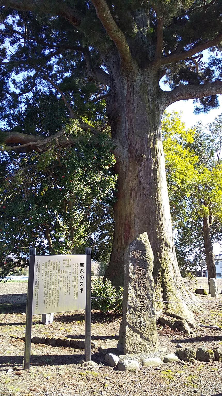 子神社の杉